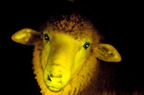 ces-moutons-sont-phosphorescents-lorsqu-ils-sont-places-sous_1170192_460x306